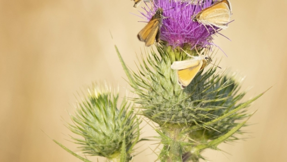 Thistle with flying insects